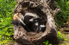 Two Baby Striped Skunks (Mephitis mephitis) Huddle in Log Royalty Free Stock Photo