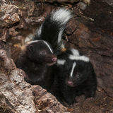 Two Baby Striped Skunks (Mephitis mephitis) in Log Stock Image