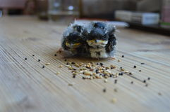 Two baby swallow birds eating seeds Royalty Free Stock Images