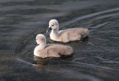 Two Baby Swans Stock Photography