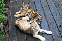 Two baby tigers in Guangzhou Stock Photo