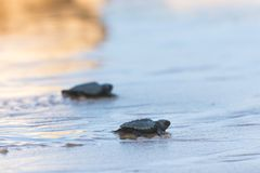 Baby turtles walking to the ocean. Two baby turtle walking on the beach to the ocean in Indonesia royalty free stock photo