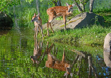Two baby white tailed deer and water reflections. royalty free stock photos