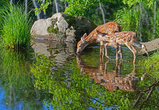 Two Baby White-tailed deer water reflections. Two White Tailed Deer Fawns and water reflections royalty free stock photos