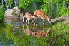 Two Baby White-tailed deer water reflections. Two White Tailed Deer Fawns and water reflections royalty free stock image