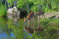 Two Baby White-tailed deer water reflections. Two White Tailed Deer Fawns and water reflections royalty free stock images