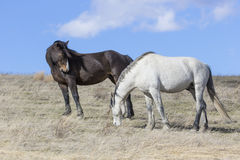 Two bachelor stallions on the plains Royalty Free Stock Image