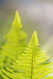 Two back lit fern Royalty Free Stock Photography