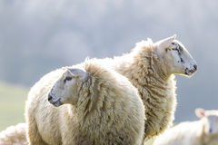 Two back lit sheep staring to left and right Royalty Free Stock Images