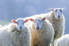 Two back lit sheep staringinto camera Stock Images
