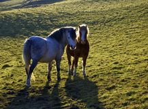 Two backlit horses Stock Photography