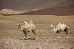 Two Bactrian camels Stock Photos