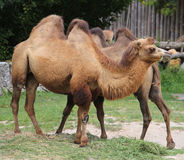 two Bactrian camels with brown hair while eating royalty free stock photos