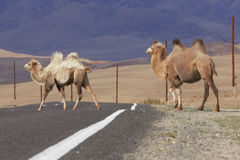 Two Bactrian camels crossing the road Royalty Free Stock Photography