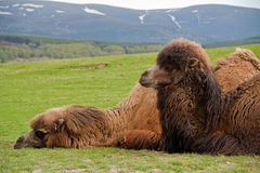 Two Bactrian camels lying down together. The Bactrian camel (Camelus bactrianus) is a large even-toed ungulate native to the steppes of central Asia. It is one Royalty Free Stock Photos