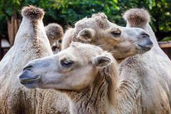 Two Bactrian camels. In the zoo royalty free stock photos