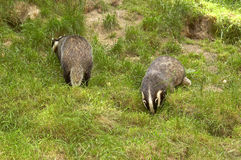 Two badgers. Looking for food Stock Photo