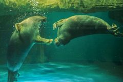 Two Baikal seals play with each other royalty free stock images