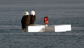 Two bald eagles. Sitting on white box in water Stock Photo
