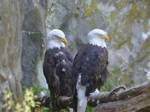 Two Bald Eagles with Drowsy Eyes in a Hidden Spot. Bald eagle pair with drowsy eyes beside a rocky cliff Stock Image