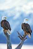 Two Bald Eagles  Royalty Free Stock Photography