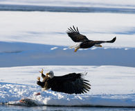 Two bald eagles are fighting for prey. USA. Alaska. Chilkat River. Stock Images