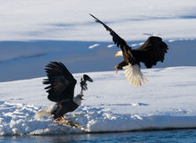 Two bald eagles are fighting for prey. USA. Alaska. Chilkat River. Royalty Free Stock Images