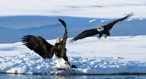 Two bald eagles are fighting for prey. USA. Alaska. Chilkat River. Royalty Free Stock Photography