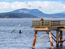 Two Bald Eagles fly near a fishing pier  in search of fish Royalty Free Stock Photos