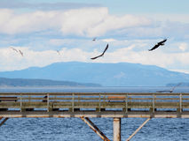 Two Bald Eagles fly over a fishing pier in  search of fish Royalty Free Stock Photo