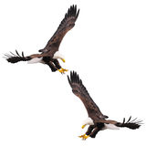 Two bald eagles. Stock Images