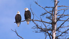 Two bald eagles perched on dead tree branch. Video of two bald eagles perched on dead tree branch stock footage