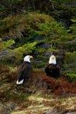 Two Bald Eagles Perched in Foliage Near Seward Alaska. Two bald eagles perched next to eachother on the grass near Seward, Alaska Royalty Free Stock Photo