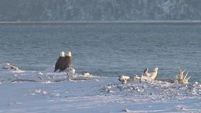 Two bald eagles perched on log on snowy shore. Video of two bald eagles perched on log on snowy shore stock video footage