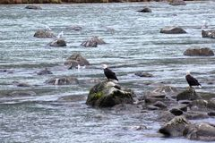 TWO BALD EAGLES ON ROCKS IN RIVER. Two bald eagles standing on rocks in a flowing river looking for fish to eat Stock Photo