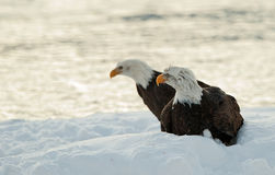 Two Bald Eagles on snow Royalty Free Stock Photo