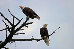Two Bald Eagles On A Tree. Two american bald eagles are perched on branches at the top of a tree. They are screaming or squawking at each other as they royalty free stock image