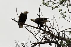 Two Bald Eagles. In a tree having a heated conversation Royalty Free Stock Photos