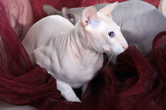 Two bald sphinx cats Royalty Free Stock Image