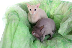 Two bald sphinx cats Royalty Free Stock Images