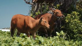 Two bali banteng cows standing in grass eating leaves near trees then turn head. Two banteng cows standing in grass eating leaves near trees then turn head to stock footage