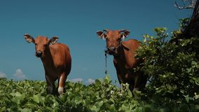 Two bali banteng cows standing in grass looking into the camera stock video