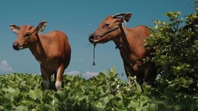 Two bali banteng cows standing in grass near bush stock video footage