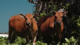Two bali banteng cows standing in grass near trees looking into the camera stock video footage