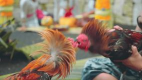 Two balinese man playing with roosters. Two balinese man playing with angry roosters stock footage