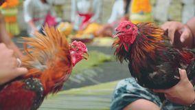 Two balinese man playing with roosters stock video