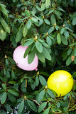 Two balloons in a plant bush Royalty Free Stock Photos