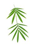 Two bamboo leaves Royalty Free Stock Photo