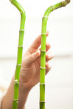 Two bamboos and hand touching them Royalty Free Stock Photography