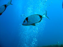 Two Banded Bream. On the wreck of the Zenobia off Larnaca, Cyprus Royalty Free Stock Photo